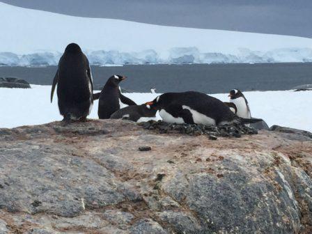 企鵝孵蛋:部分站著孵,部分趴著孵