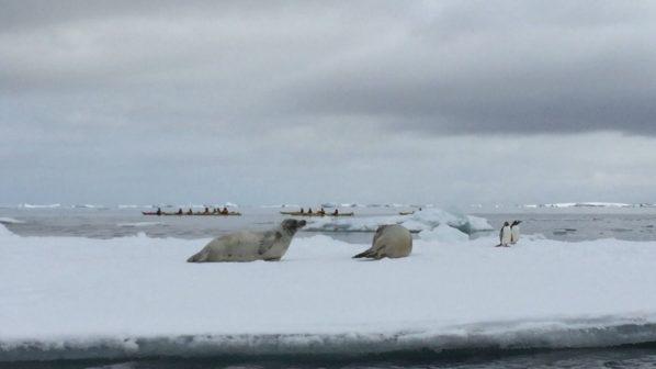 海豹與企鵝和平共處