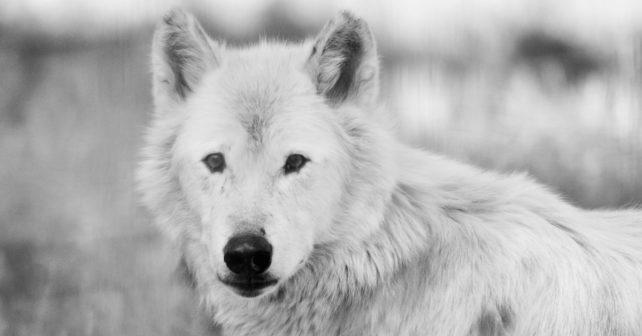 wolf-1173582_1920